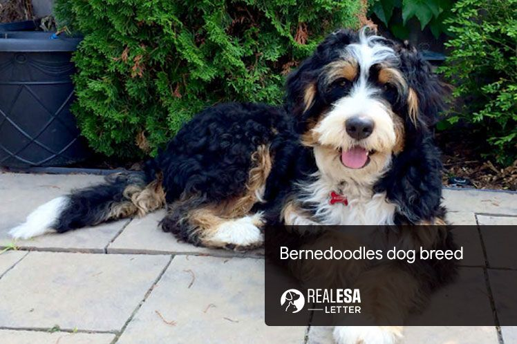 Bernedoodles - A Complete Guide of the Breed