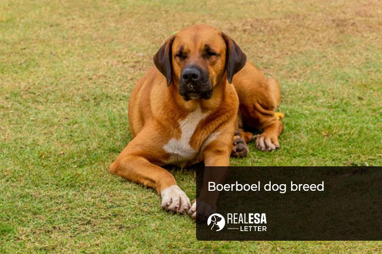 Boerboel dog breed