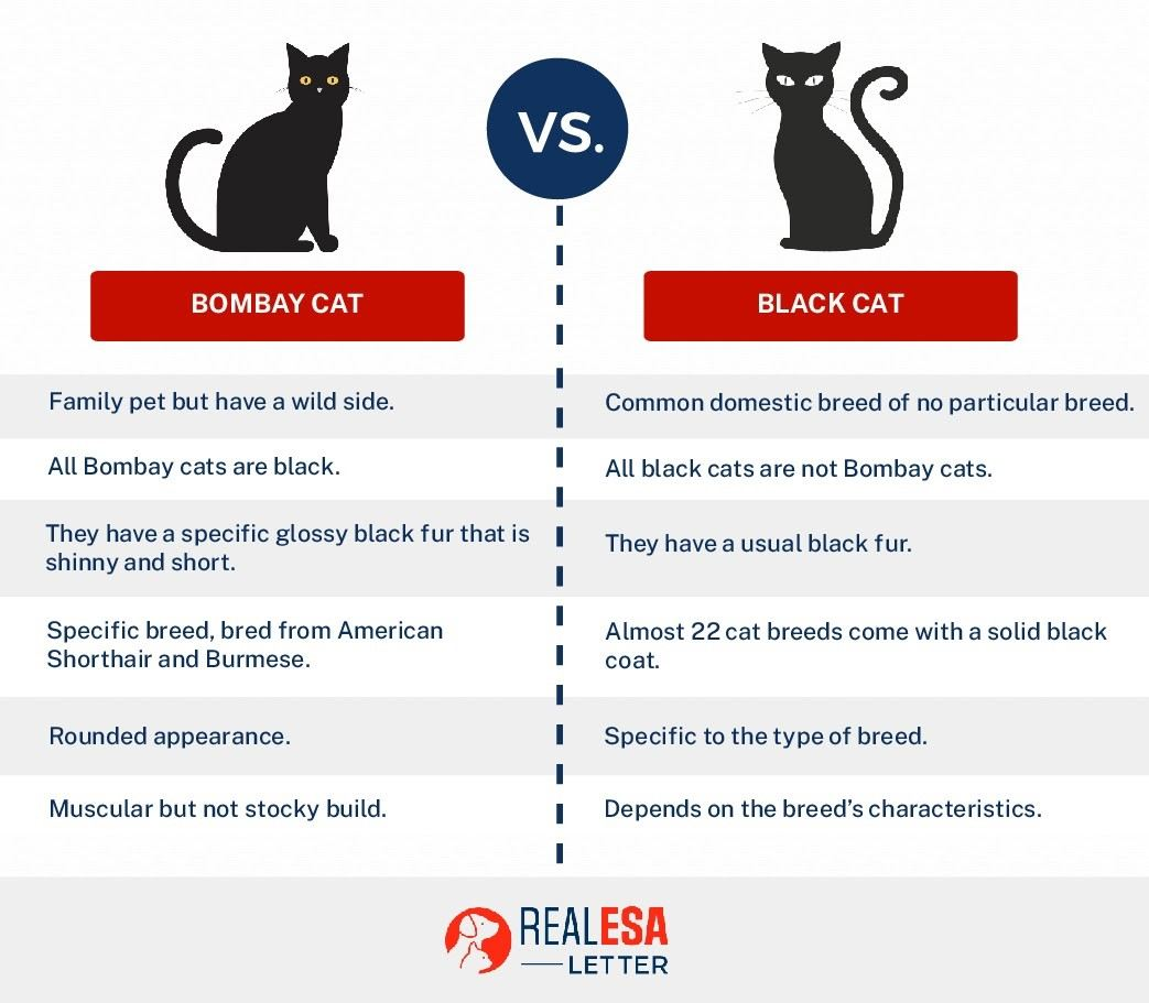 Bombay cat vs. black cat