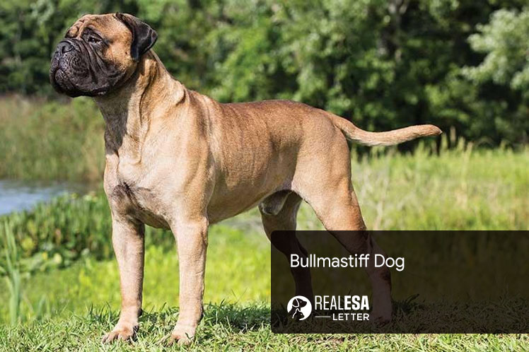 Bullmastiff - Origins, Temperament, Traits, and Complete Profile