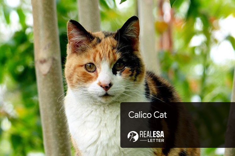 Calico Cat - History, Facts, and Personality Traits