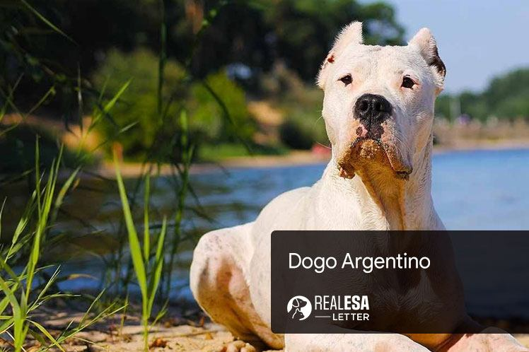 Dogo Argentino - History, Traits, and Facts