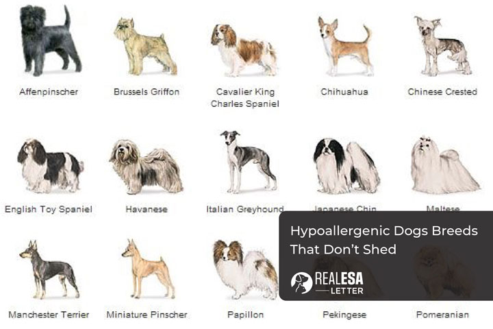 List of Hypoallergenic Dogs Breeds