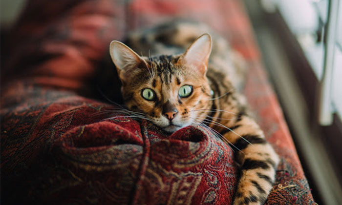Can you certify your cat as your emotional support animal?
