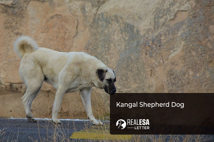 Kangal shepherd dog