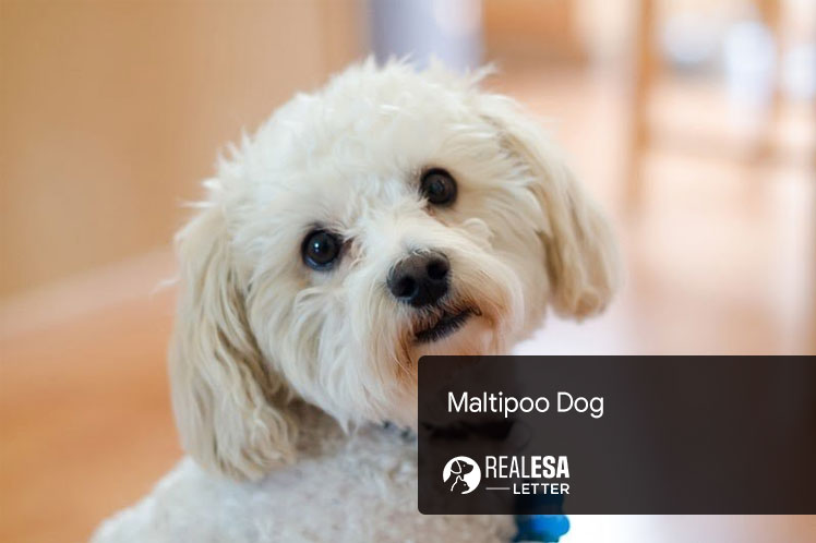 Maltipoo Dog Breed - Complete Information & Quick Facts