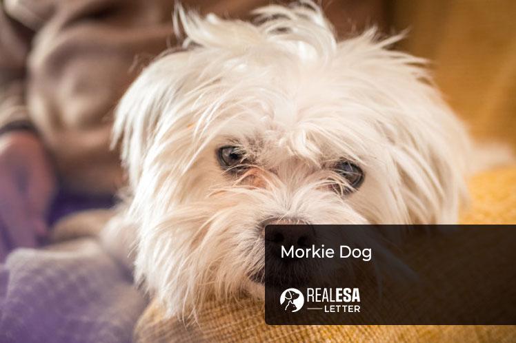 Morkie Dog
