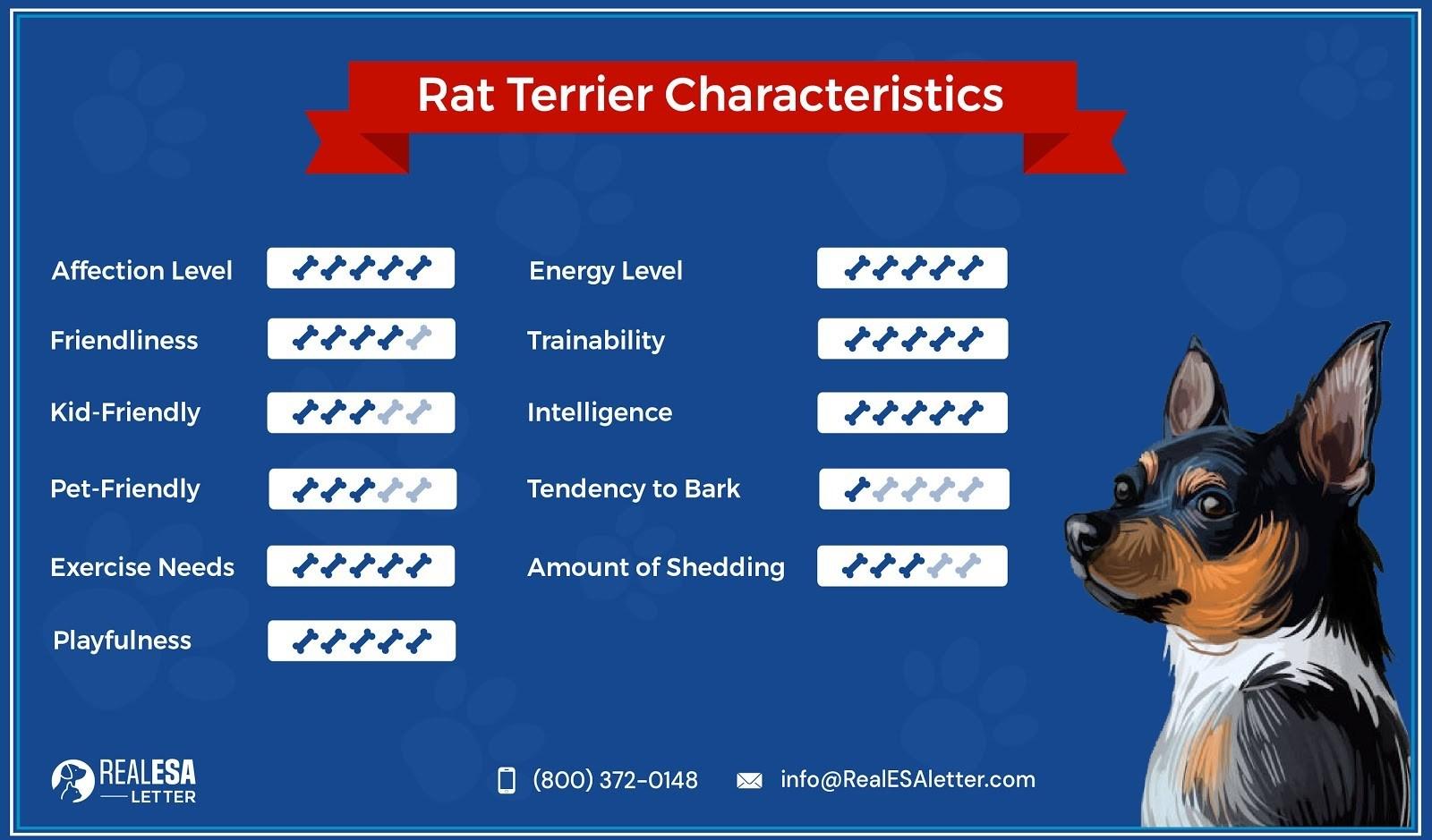Rat Terrier Characteristics