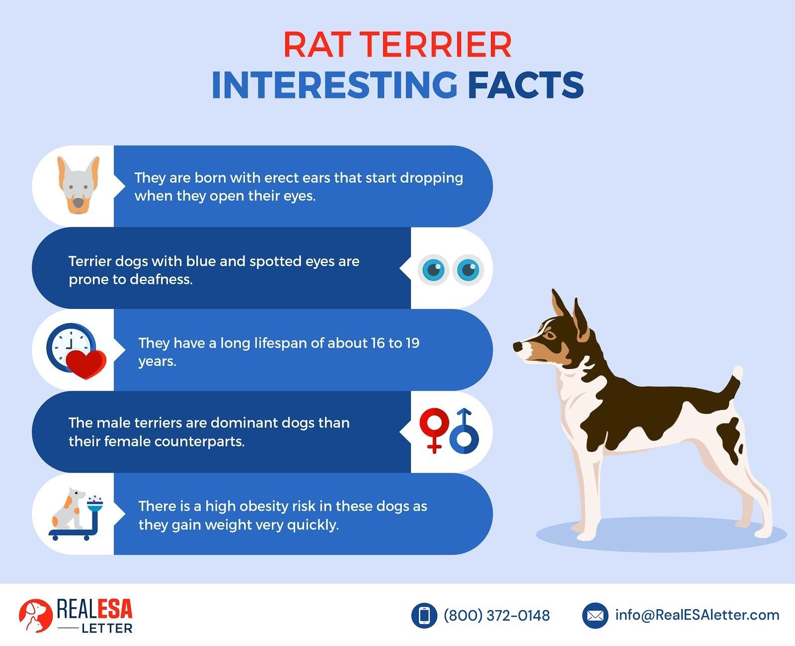 Rat Terrier - Interesting Facts