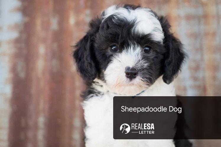 Sheepadoodle Dog