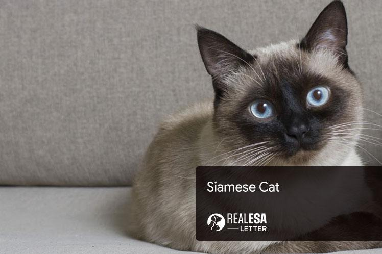 Siamese Cat: Facts, History, Grooming & Diet