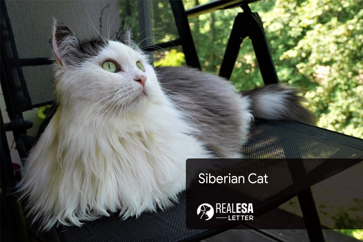 All About Siberian Cat Breed - Traits & Characteristics