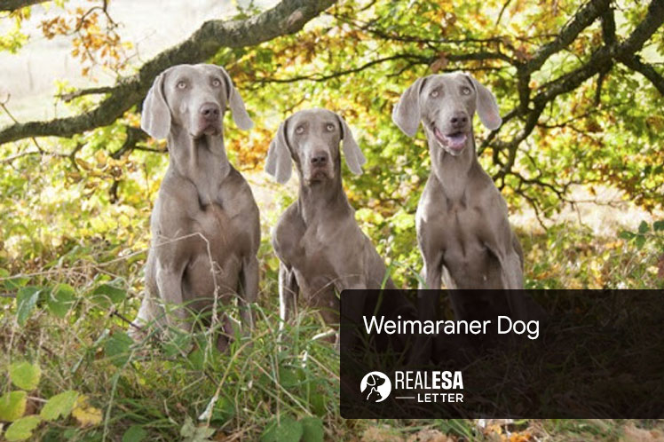 Weimaraner - All You Need to Know About the Dog Breed